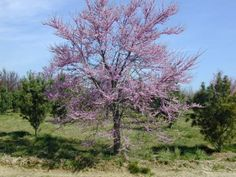 Eastern Red Bud Tree Form   Cercis Canadensis at High Ridge in NJ.