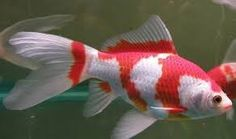 """will-koi: """"Sarasa Goldfish or Sarasa Comet The Sarasa is a variety of the common goldfish. It's a fish with a red base color with white spots and a normal tail. Goldfish Pond, Colorful Fish, Tropical Fish, Shubunkin Goldfish, Coldwater Fish, Small Water Gardens, Fish Care, Life Aquatic, Aquariums"""