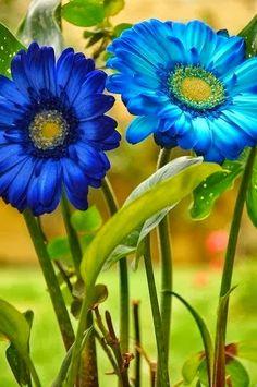 "Blue Gerbera Daisies, beautiful ✯✮✮Feel free to share on Pinterest"" ♥ღ www.FASHIONANDCLOthingblog.com"