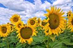 Sunflower field. ...  agriculture, annuus, background, bloom, blooming, blossom, blue, botanical, botany, cloudy, country, countryside, cultivation, emilia, emilia-romagna, exterior, field, flora, floral, flower, flowering, foliage, green, growth, helianthus, inflorescence, italy, land, landscape, leaf, lush, meadow, natural, nature, outdoor, outside, petal, plant, planting, romagna, season, seed, sky, stem, summer, sun, sunflower, sunlight, sunshine, vegetation