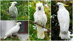 white macaw