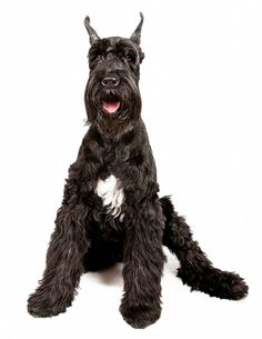 Giant Schnauzer... i want him to come to my house!!!