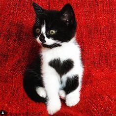 Gatinha que tem um coração desenhado no peito propaga amor pela internet | Gatices