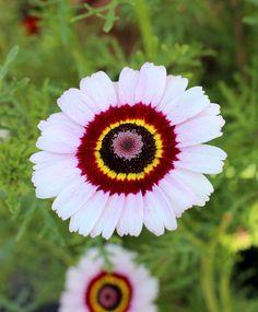 Chrysanthemum carinatum Cockade