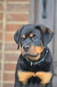 Beautiful #Rottweiler baby
