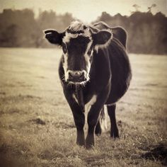 Farm Photography, Cow In Grassy Field, Black And White, Farm Animal,  8x8 Photo - The Cow