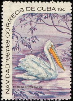 American White Pelican - Cuba