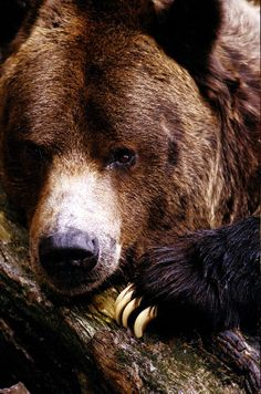 Grizzly Bear ~ can reach a weight of 400 to 800 pounds, with the male being nearly twice as heavy as the female. When standing on its hind feet, it can reach up to 8 feet tall. Despite its huge size, it can run at speeds up to 35 miles per hour. The most common reason for a grizzly attack is a female fearing for her cubs. Hungry or ill bears may also attack humans.