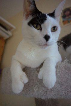 Hemingway cat ...some kitties really do have thumbs