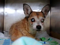 Animal Adoption, Animal Rescue, Pet Adoption, White Chihuahua, Chihuahua Mix, Cavalier Rescue, Senior Boys, Change Is Good, All Dogs