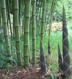 Phyllostachys atrovaginata: okay, I might be reconsidering which species I want. This one has good timber, good shoots, and it smells good.