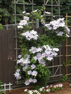 Wonder if this would get enough sun if I tried growing it in pots on the garage walls? Climbing Flowering Vines, Climbing Vines, Large Backyard Landscaping, Landscaping Ideas, White Clematis, Garage Walls, Backyard Retreat, Amazing Flowers, Landscape Design