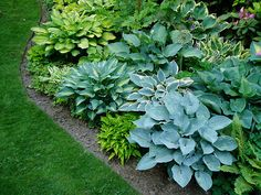 Hostas - Besides the fact that they're hardy, easy to grow, and easy to propagate and share with others is the simple fact that there is SO MUCH TO CHOOSE FROM. There's minis to your giants, your greens, yellows and blues. You've got your whites and pretty soon we'll see purples and reds as the petioles are showing off a potential new color palate in hostas.  A new cultivar called 'Marilyn Monroe' has stunning dusty blue leaves with chalky white undersides and pale purple petioles.