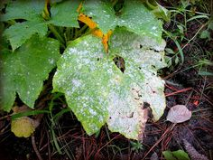 Tips for identifying, controlling, and preventing the white fungus disease powdery mildew on your plants, from The Old Farmer's Almanac