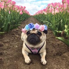 ltimate flower - panda girl #amiright @pugloulou . . SHOP our Panda collection at www.frenchiebulldog.com . . . #frenchiepetsupply