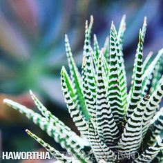 "Haworthia Attenuata var. Wideband (Korea)  You would have seen the plant we are pairing with concrete vessels this is what they call ""same same but different"". Basically the white 'bands' that wrap around the leaves are thicker than normal which makes for a greater visual boldness. It's pretty amazing how small details make a big difference. Also worth noting this variety is a lot slower growing and offsets more infrequently than the more common var. Attenuata variety . . . . . #manplants…"