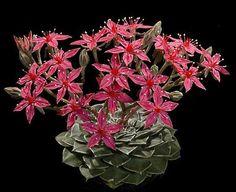 Sementes de Graptopetalum bellus tacitus / Tácito - Suculenta