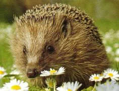 Adorable hedgehog stopping to smell the daisies!