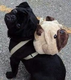 A pug with a pug backpack. Too cute!!