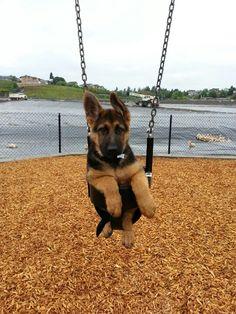 Aldo German Shepherd 3.5 months