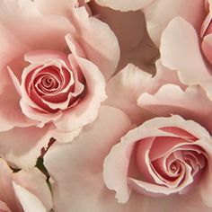 Light Pink Bulk Spray Roses for home decoration or flower arrangements Affordable Wedding Flowers, Spray Roses, Here Comes The Bride, Fresh Flowers, Event Decor, Pink Roses, Flower Arrangements, Wedding Planner, Wedding Venues