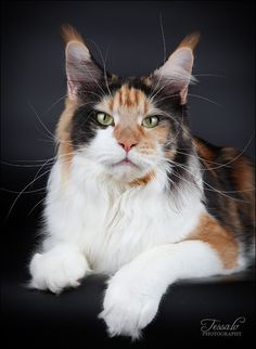 Maine Coon Cat http://www.mainecoonguide.com/how-to-tell-if-a-kitten-is-a-maine-coon/