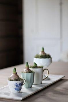 hyacinth in teacup