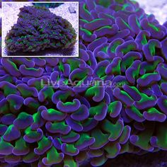 Amazing Hammer Coral - UltimateReef.com