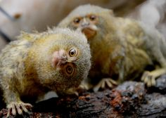 Pygmy marmosets are always cute http://ift.tt/2zdnLLQ