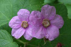 Wildlife-friendly Gardening: Incorporate Native Plants/ Wild About Gardening (Canadian Wildlife Federation) Purple Flowers, Wild Flowers, Canadian Wildlife, Plant Pictures, Violets, Native Plants, Cabins, Habitats, Cottages
