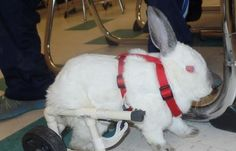 Feb 2015 - A bunny named Sam that lost the ability to hop has a new wheelchair that gives him mobility thanks to a group of very special children, reports WCHS Channel 8.