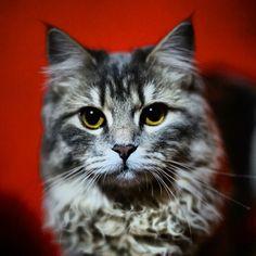 davidlapietraphotography #gatto #cat #siberiano #siberian