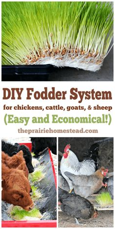 DIY Fodder System for Animals (easy and economical!)