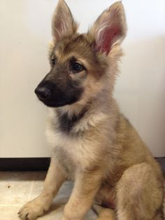 German shepherd puppy ! Love those ears! That is what Marley looked like when he was little.