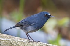 Nilgiri Blue Robin, Rufous-bellied, Nilgiri or White-bellied Shortwing - endemic to the Shola forests of the higher hills of southern India, mainly north of the Palghat Gap
