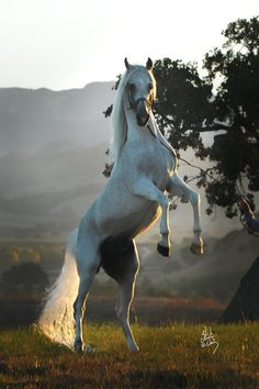 Beautiful white (grey) Arabian rearing in the misty morning meadow. Great horse photography. Love the lighting from the sunset shining through the horse's long tail! Ali Saroukh :: Silver Maple Farm.
