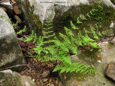Bulblet Bladderfern ( Cystopteris bulbifera )