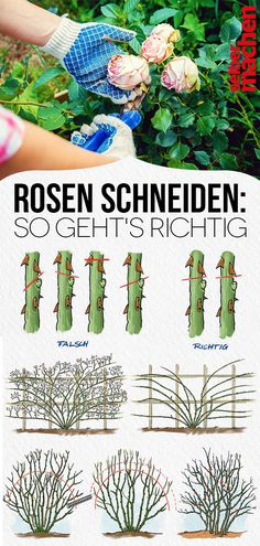 Rosen richtig schneiden Cutting roses is not difficult – if you know who it is. We explain to each genus the right cut, name the most beautiful rose varieties for the discounts and betray your if you should cut roses. Garden Trellis, Garden Plants, Roses Garden, Cactus Paint, Rosen Beet, Comment Planter, Rose Varieties, Beautiful Roses, Garden Furniture