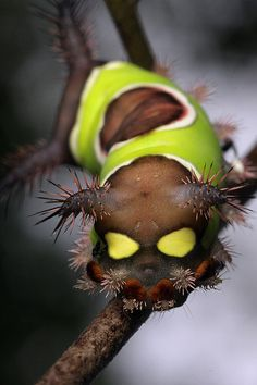 Fancy - Saddleback Moth Caterpillar. Looks like he is dipped in chocolate!