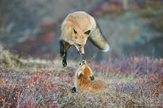 Two red foxes playing by Dee Ann Pederson