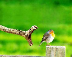 Snake Attacking a Bird. // Serpiente atacando un pájaro.