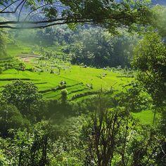 Rice fields Amlapura Bali
