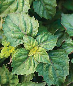 Herb, Patchouli - Herb Plants at Burpee.com