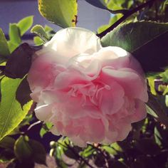 Camellias .. my newest obession