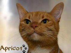 Apricot is an adoptable American Shorthair Cat in Hackensack, NJ. My name is Apricot I am a 10 mth old Orange & White American Shorthair mix Apricot was saved from 'Death Row' in Manhattan. American Shorthair Cat, American Curl, 10 Month Olds, The Fosters, Shelter, Adoption, Manhattan, Feathers, Death