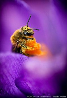 Animals Photograph Honeybee Pollinating Crocus Flower By Adam Romanowicz