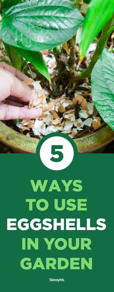 Next time you make scrambled eggs, think twice before tossing out your egg shells. Here are 5 creative ways to put those scraps to good use. Fruit Bearing Trees, Fruit Trees, Organic Gardening, Gardening Tips, Marigolds In Garden, No Carb Food List, Healthy Dinner Options, Backyard Vegetable Gardens, Healthy Recipes For Weight Loss