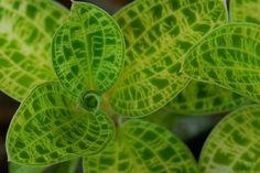 Macodes petola   Flickr - Photo Sharing!