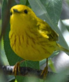 Yellow Warbler - First ID'd 04/26/2015 in Winchester, CA