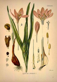 v.1 - Köhler's Medizinal-Pflanzen in naturgetreuen Abbildungen mit kurz erläuterndem Texte : - Biodiversity Heritage Library